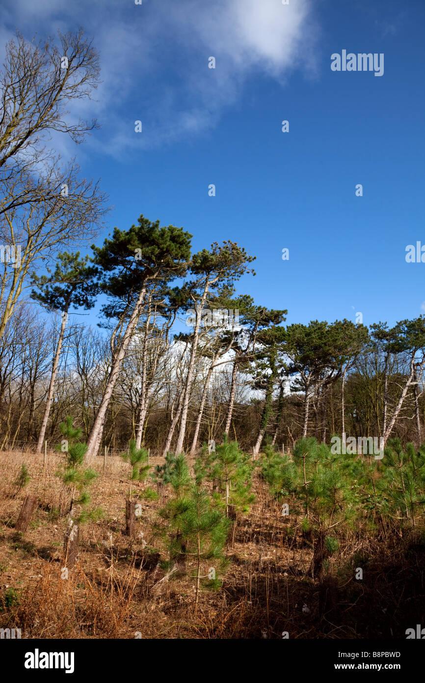 Sefton Coast woodland management Stock Photo
