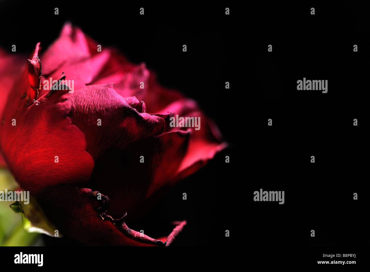 A Red Rose as it begins to wither - Stock Image