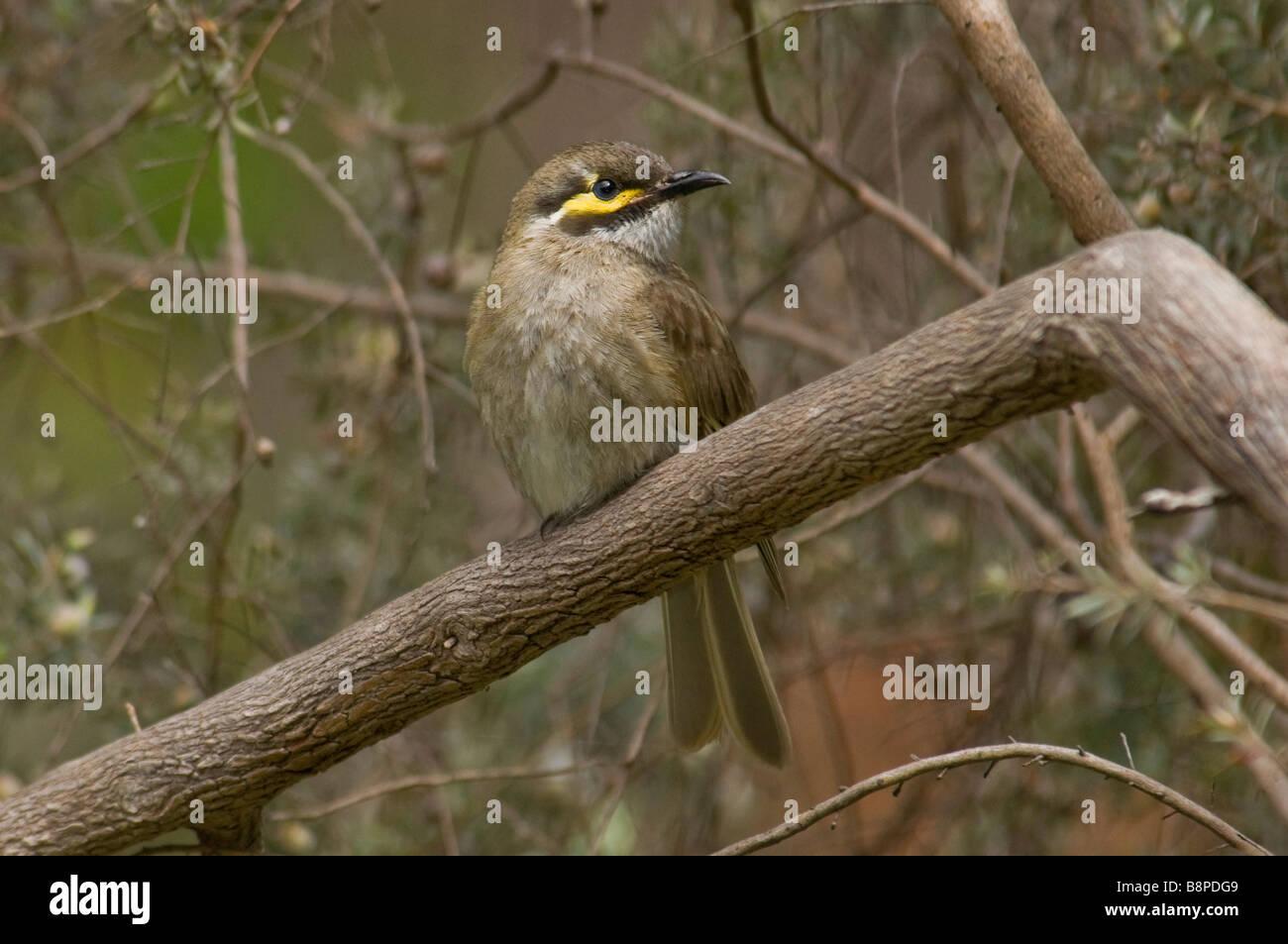 Yellow-faced Honeyeater 'Lichenostomus chrysops' - Stock Image