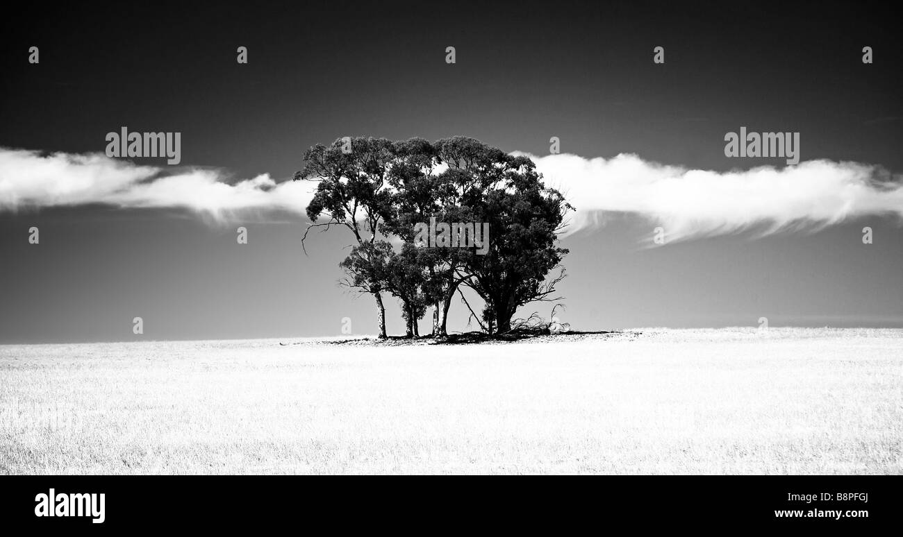 Eucalyptus trees on hillside in wheat field with dramatic sky and clouds black and white - Stock Image