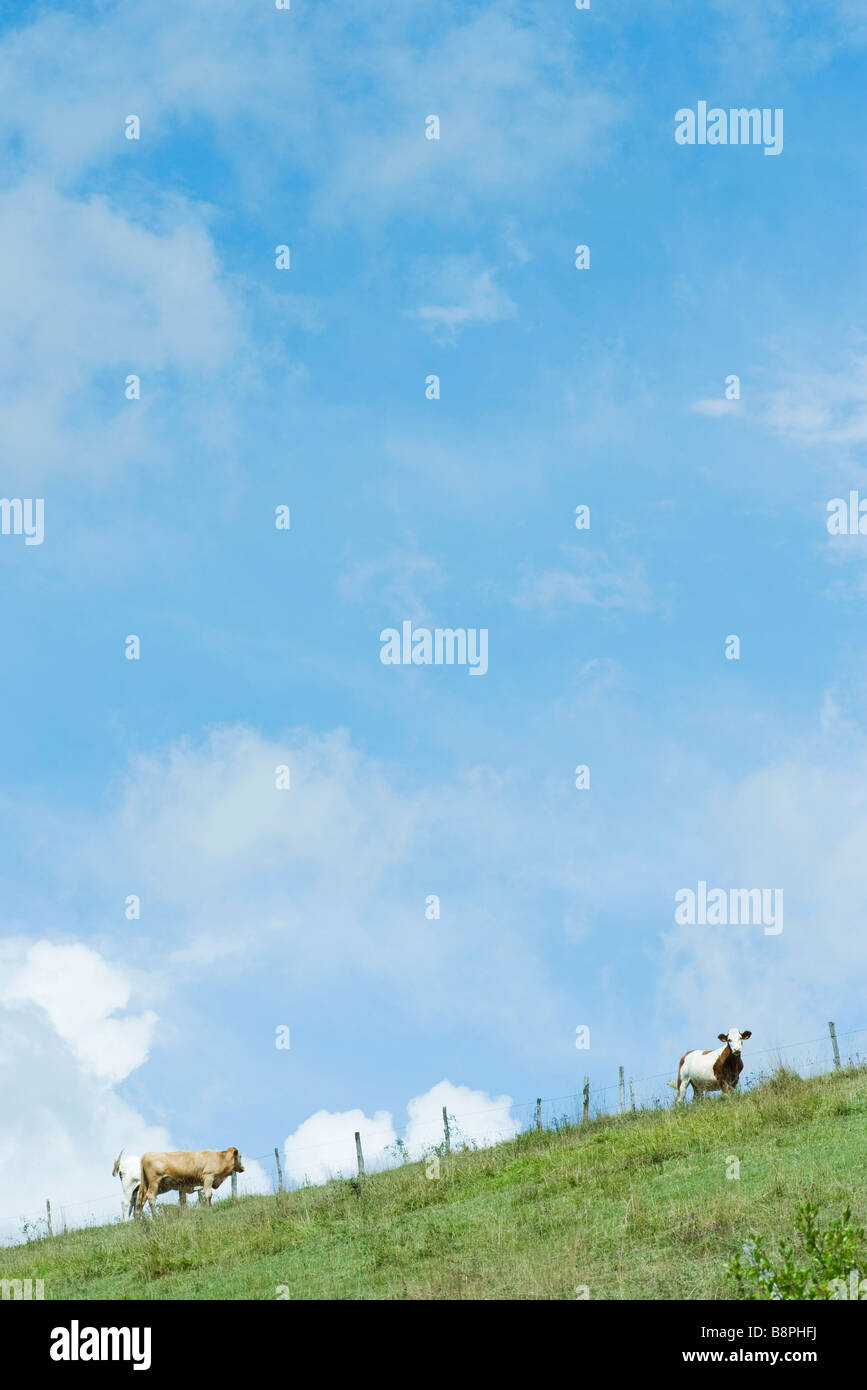 Cows on a hill under cloudy blue sky - Stock Image