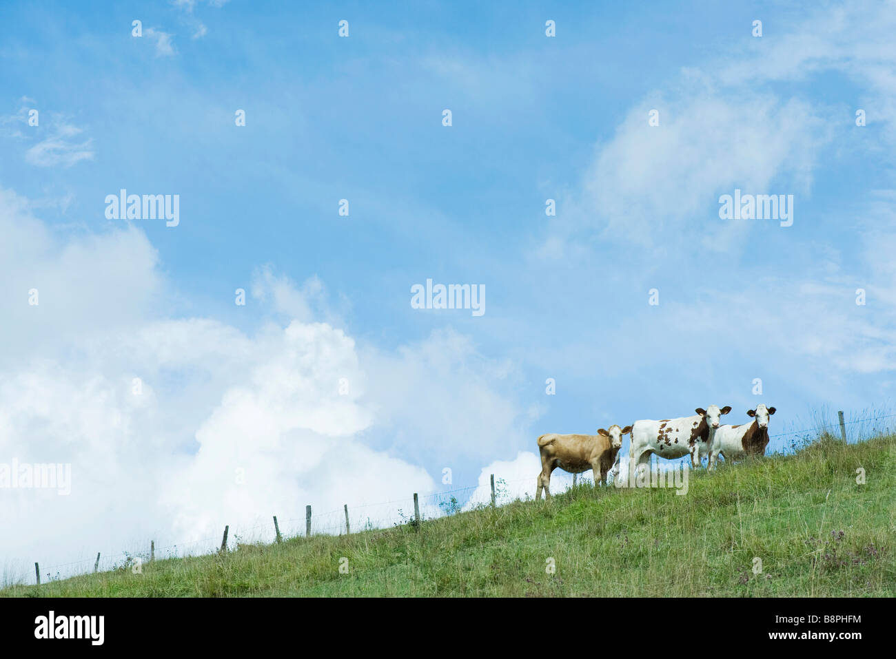 Cows on hill turning to look at camera - Stock Image