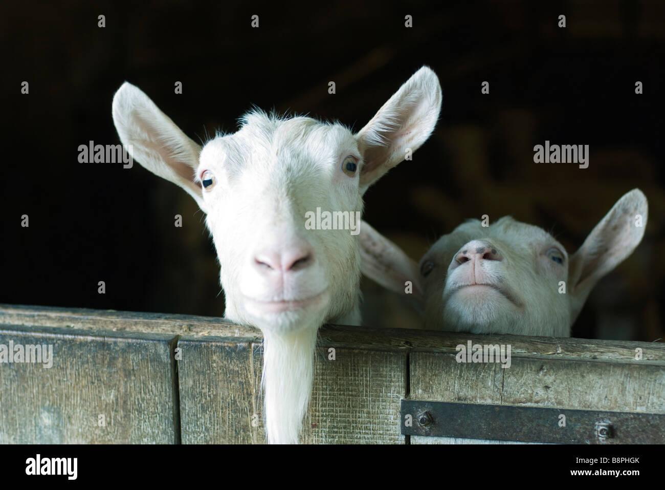 Goats looking over barn door - Stock Image