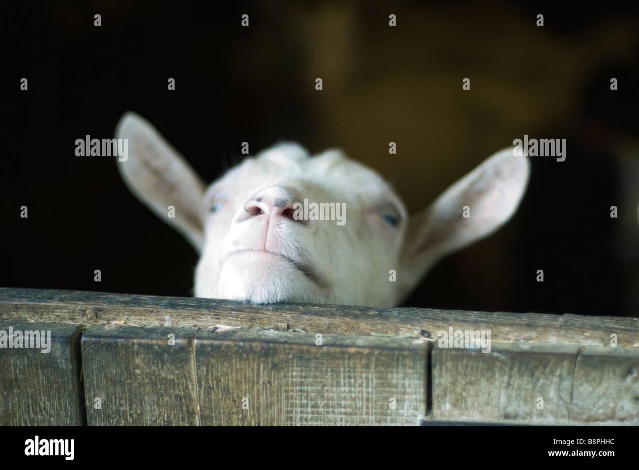 Goat looking over barn door - Stock Image