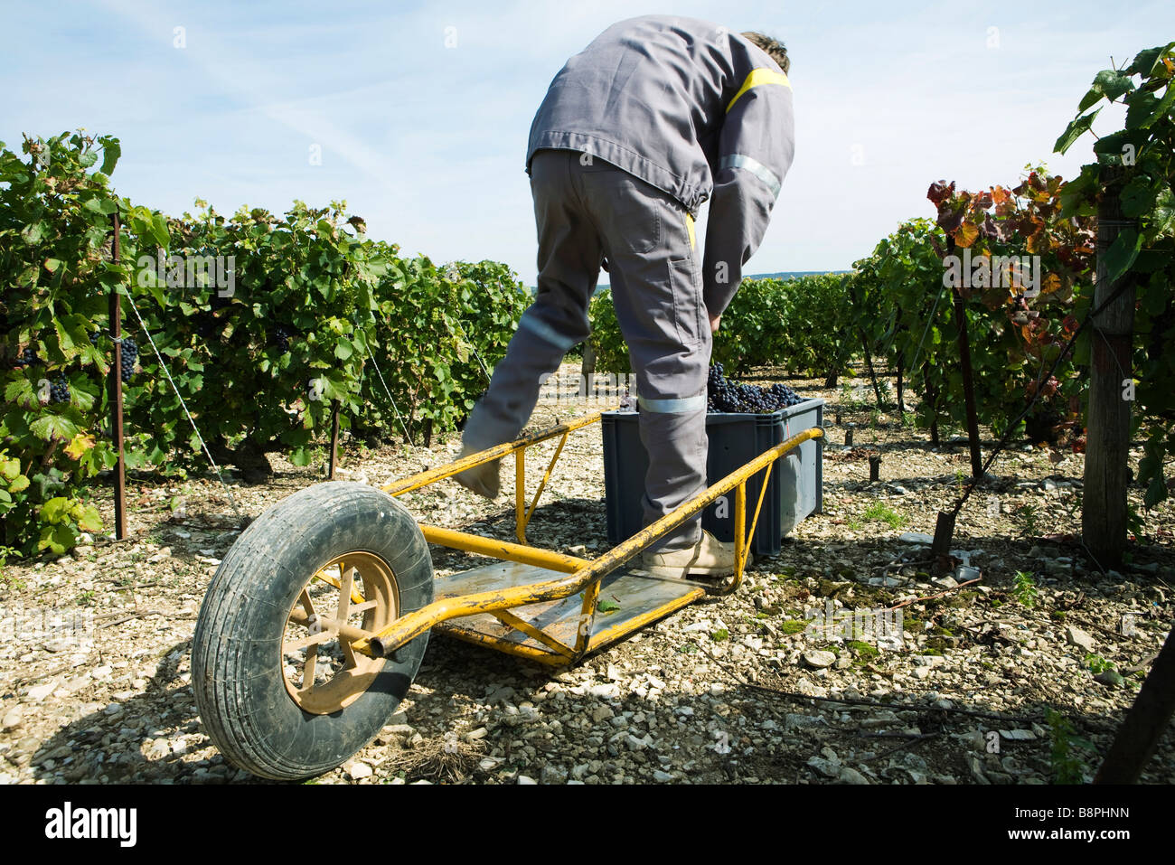 France, Champagne-Ardenne, Aube, vineyard worker putting grapes in plastic bin, wheelbarrow in foreground - Stock Image