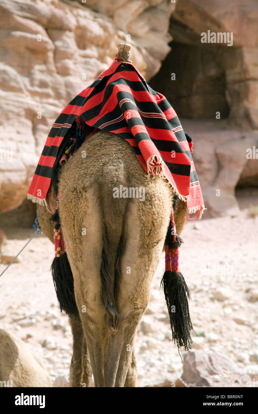 The rear end back of a camel, Petra, Jordan, Middle East - Stock Image