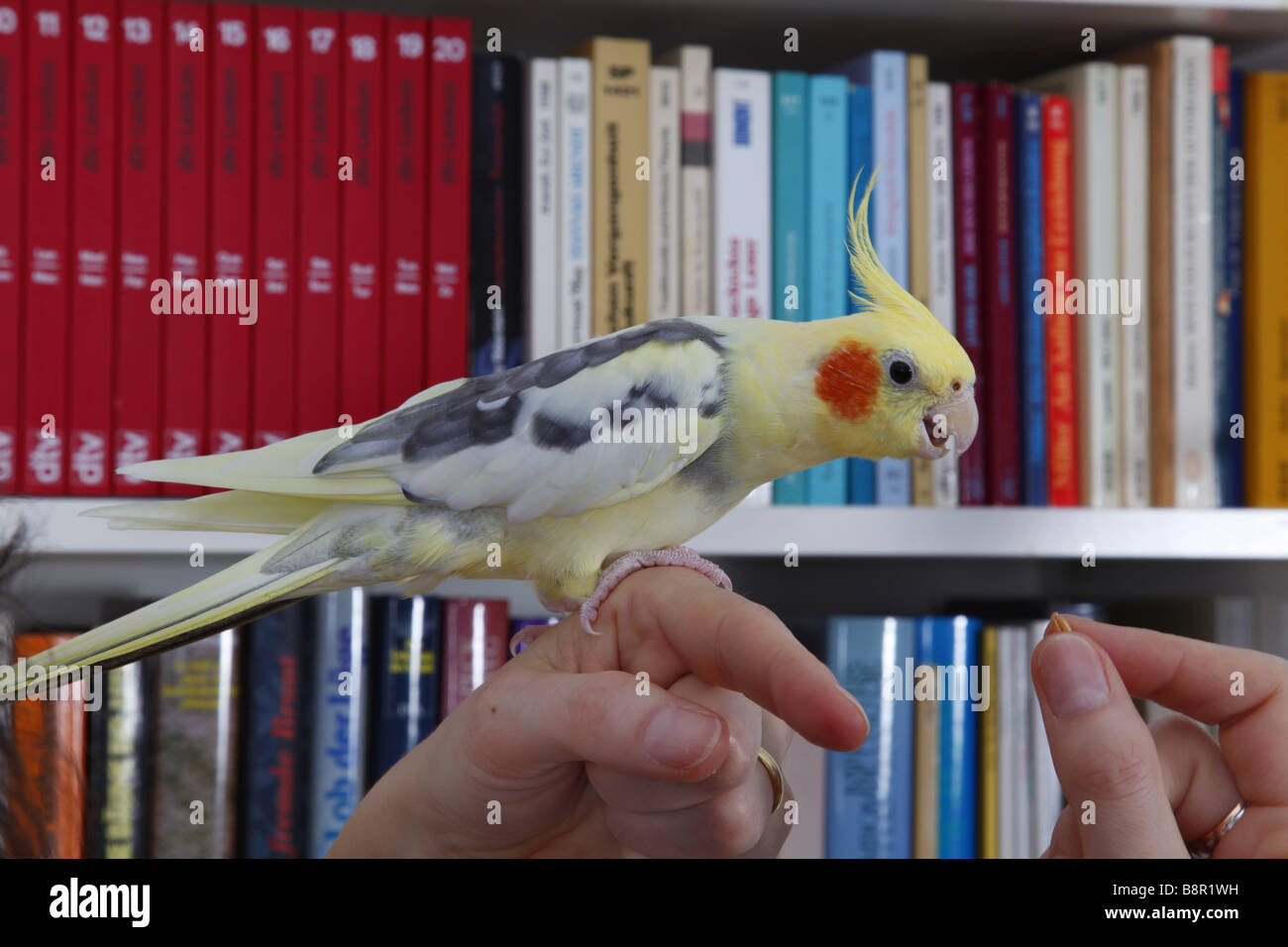 cockatiel (Nymphicus hollandicus), sitting on a person's hand, being fed with seeds in the living room Stock Photo