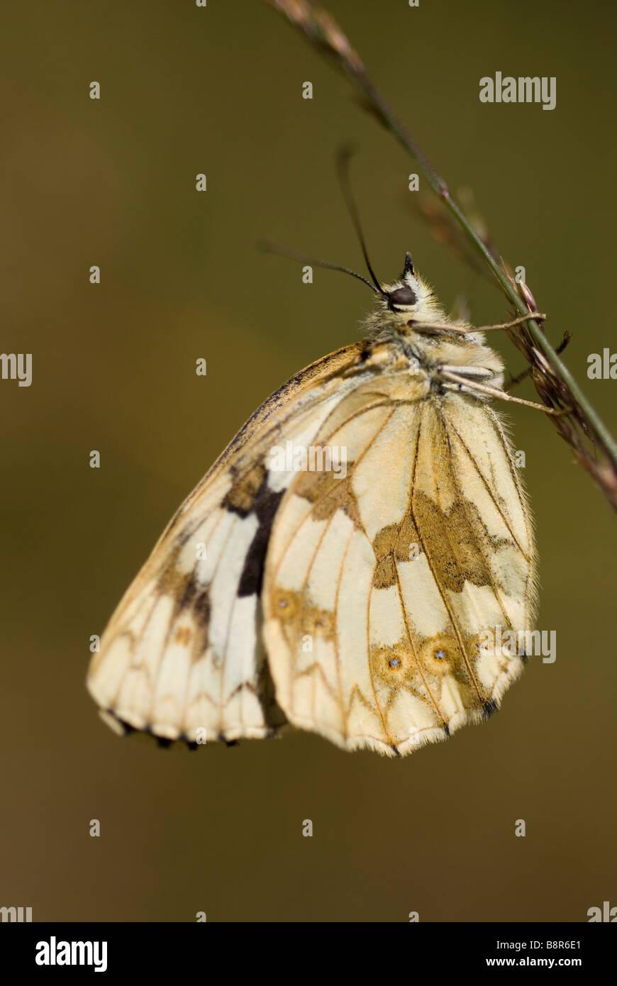 Female iberian marbled white butterfly (Melanargia lachesis) - Stock Image