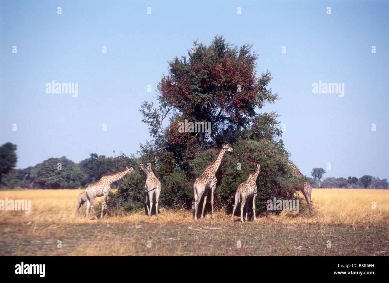Giraffe browsing on large trees Stock Photo
