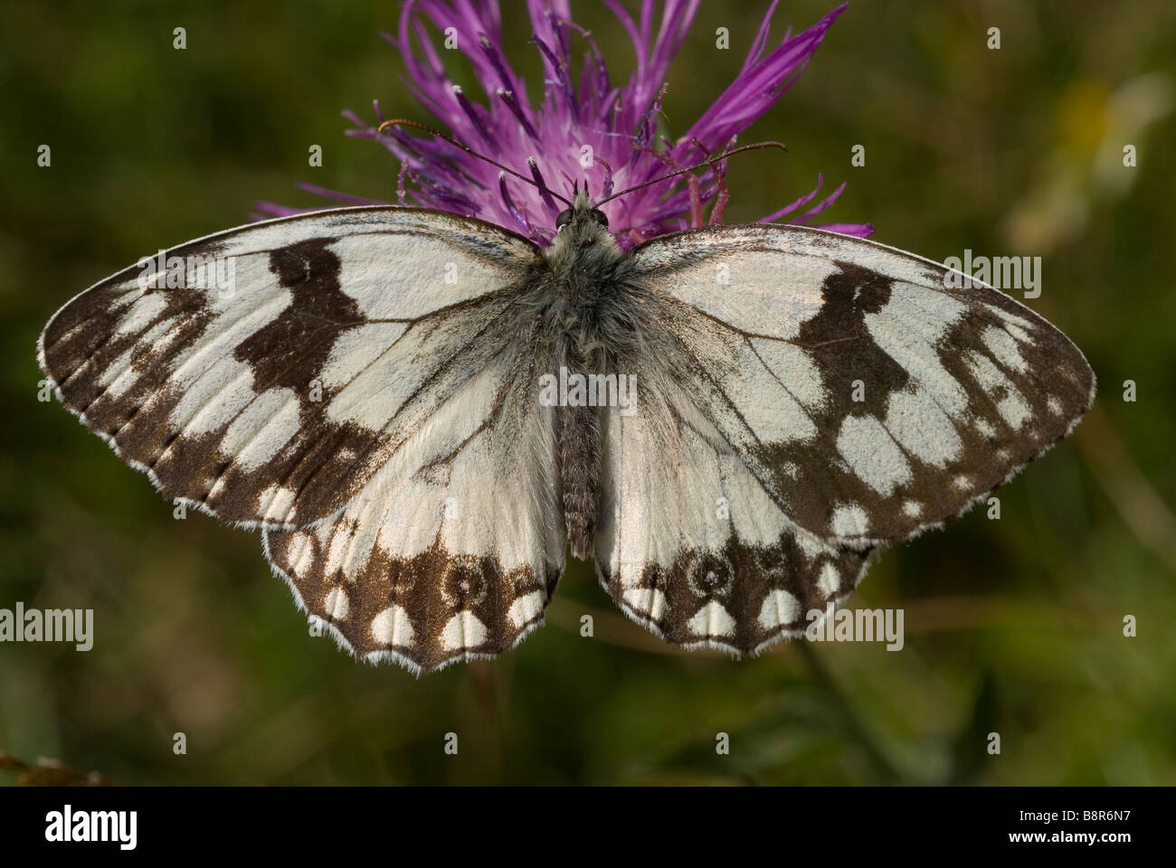 Male iberian marbled white butterfly (Melanargia lachesis) - Stock Image