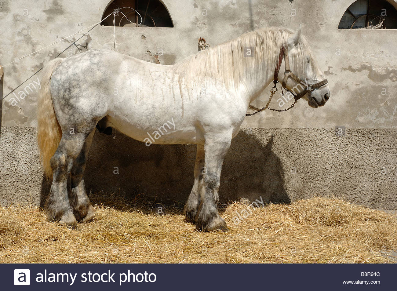 draught horse - Stock Image