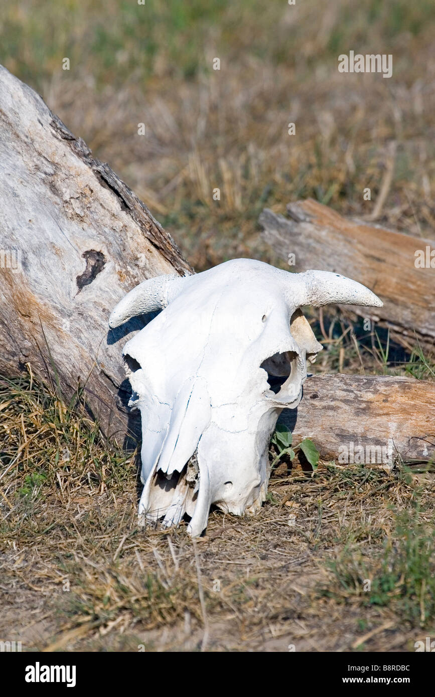 Cow skull on Texas ranch - Stock Image