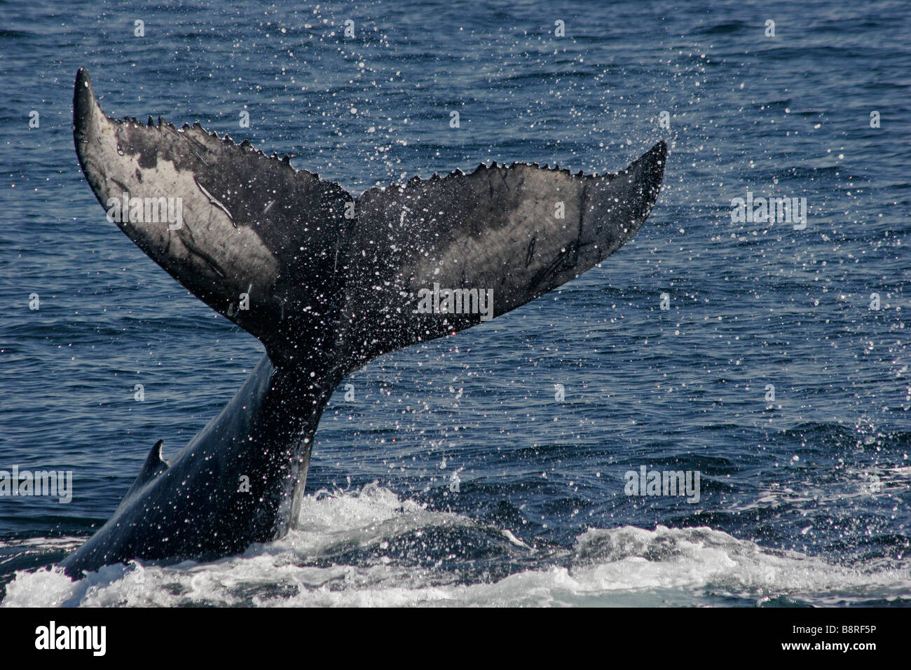 Humpback whale calf fluke, slapping its tail on the surface, underside of tail. lobtailing Stock Photo