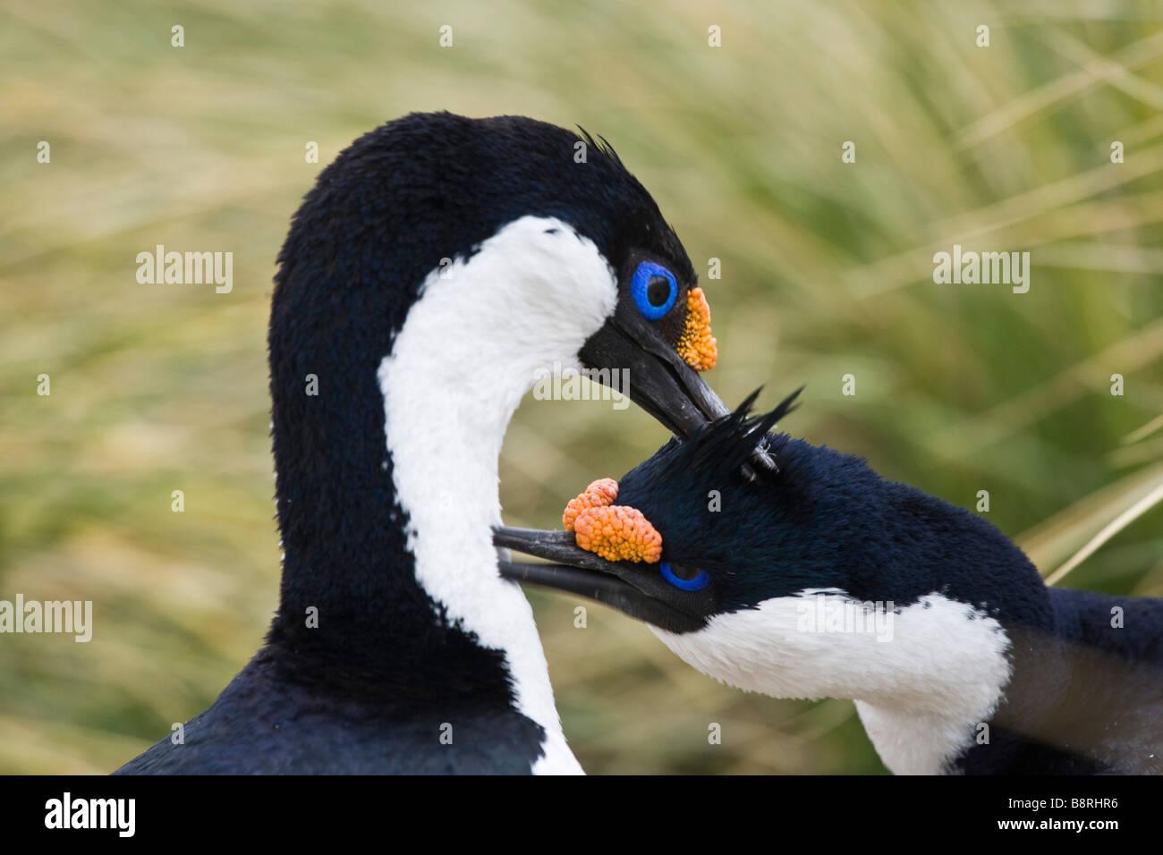 South Georgia Island, UK - Blue-eyed comorant (shag) - Stock Image