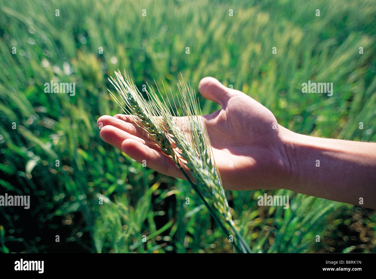 Fresh wheat in hands - Stock Image