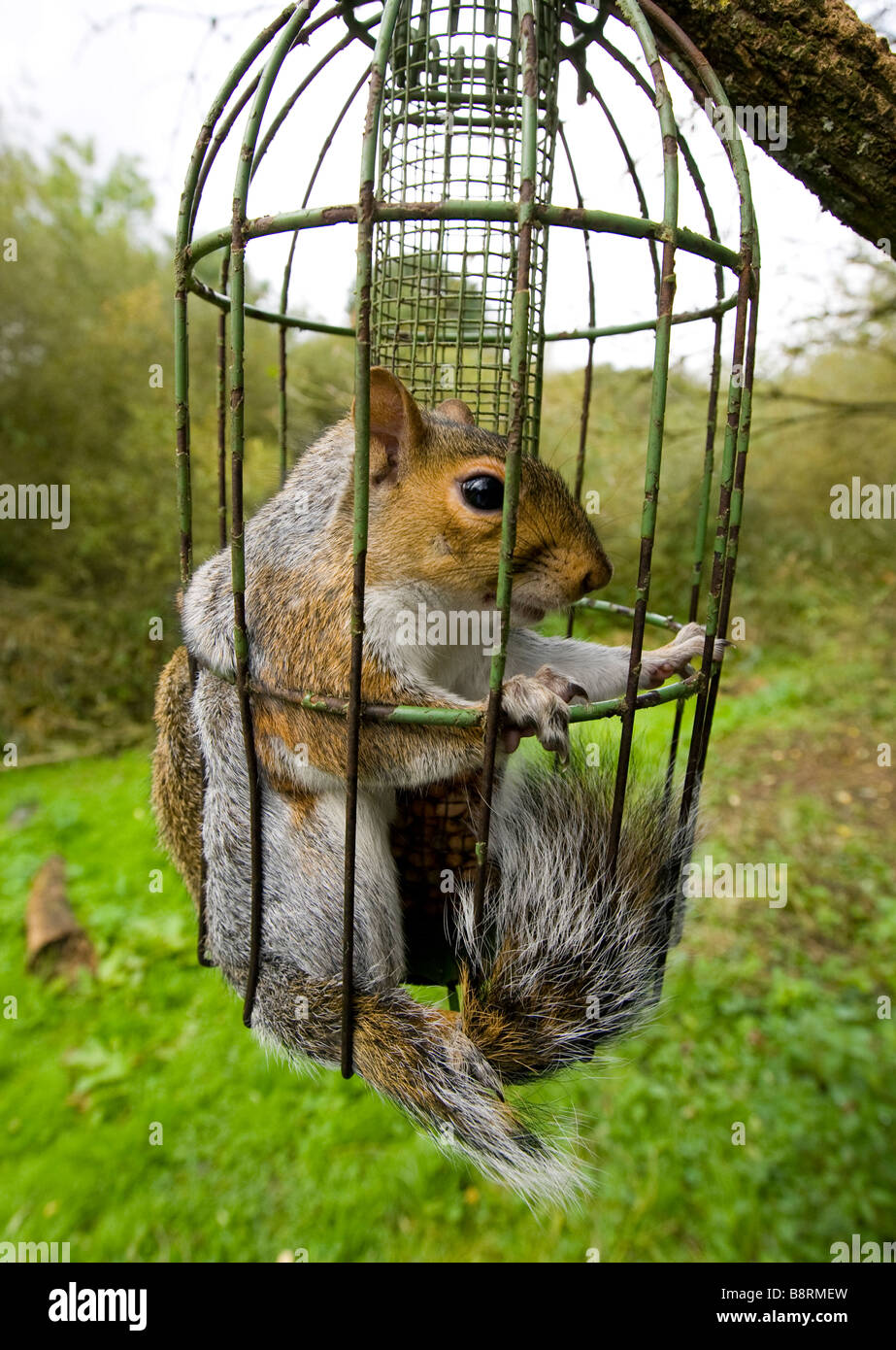squirrel feeder a september uk to bird stock how inside grey trapped proof photo