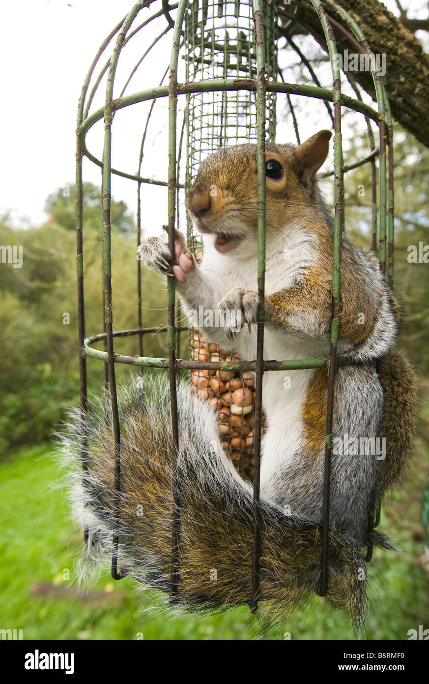 grey squirrel trapped inside a squirrel proof bird feeder. Black Bedroom Furniture Sets. Home Design Ideas