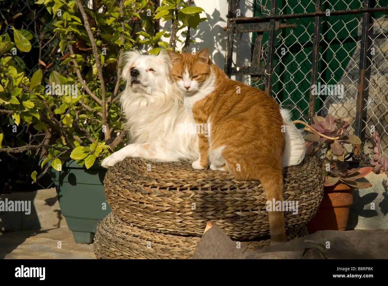 Small white dog and ginger cat sitting on wicker stool in garden ...