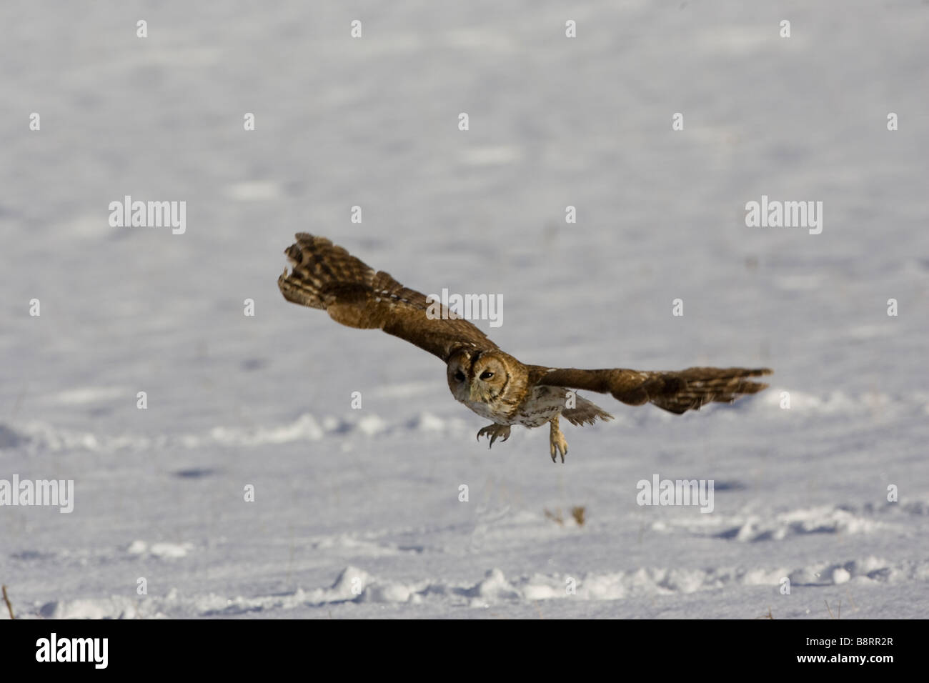 Tawny Owl flying accros a snow covered field - Stock Image