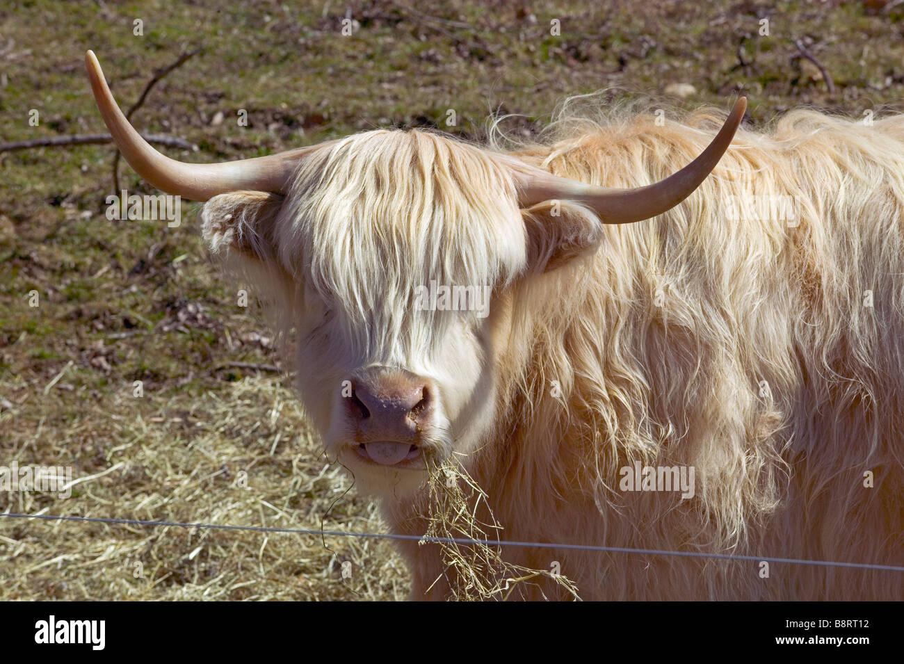 Headshot of a Scottish highlander bull. - Stock Image