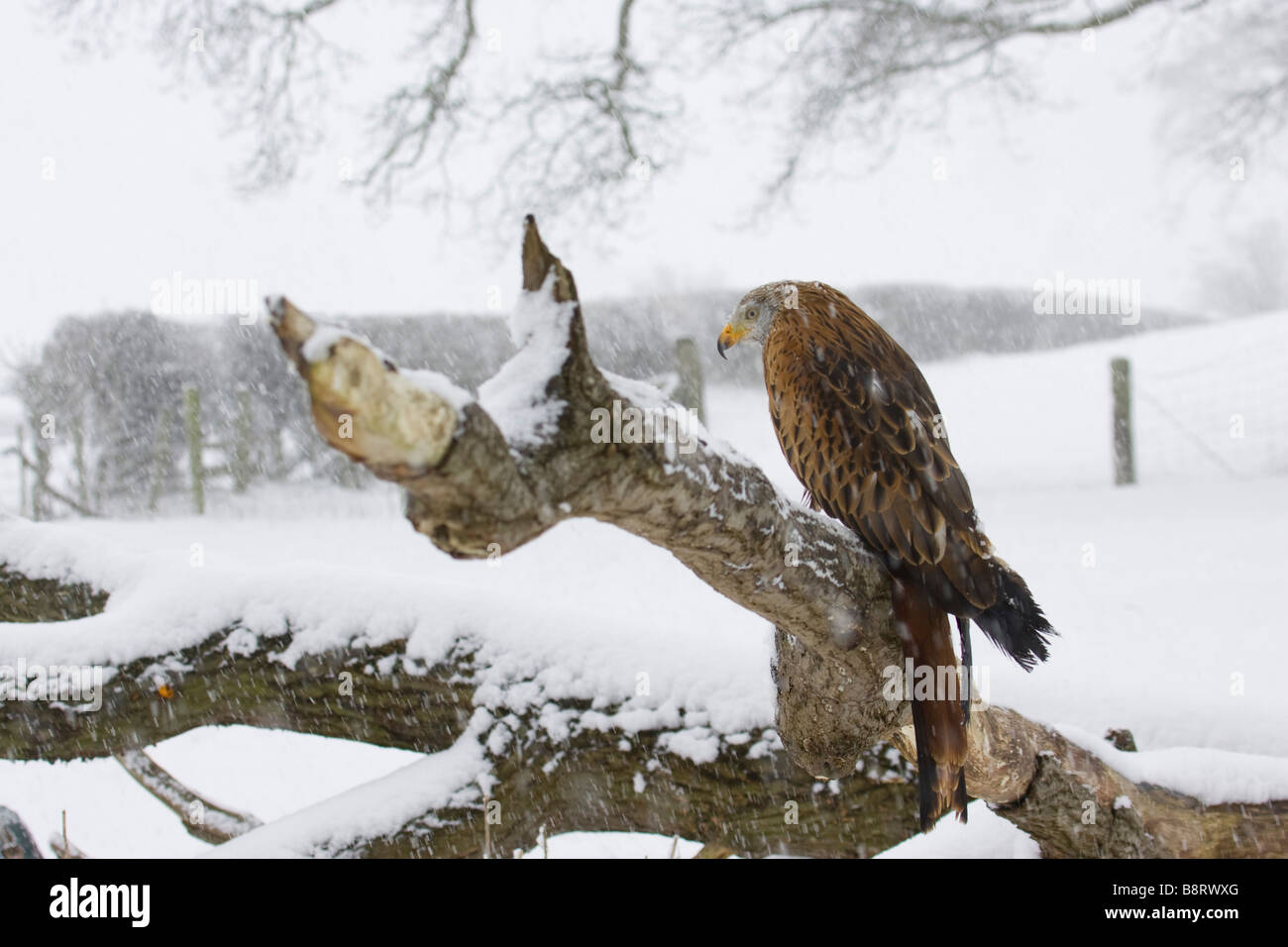 Red Kite Resting in the snow - Stock Image