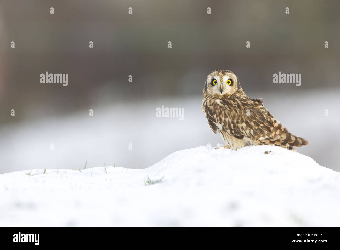 Short Eared Owl in the snow - Stock Image
