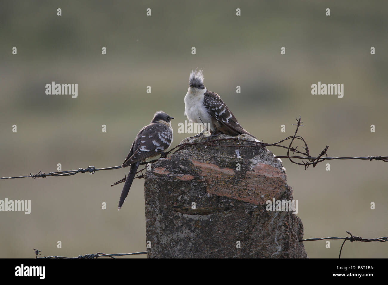 Pair of Great Spotted Cuckoos together in Spain - Stock Image