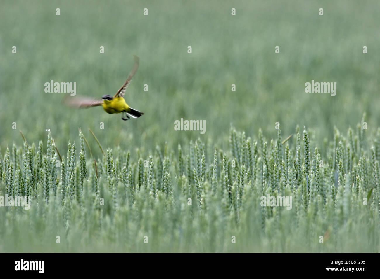Blue-headed Wagtail, Yellow Wagtail (Motacilla flava flava), flying over grain field, Germany, Rhineland-Palatinate - Stock Image