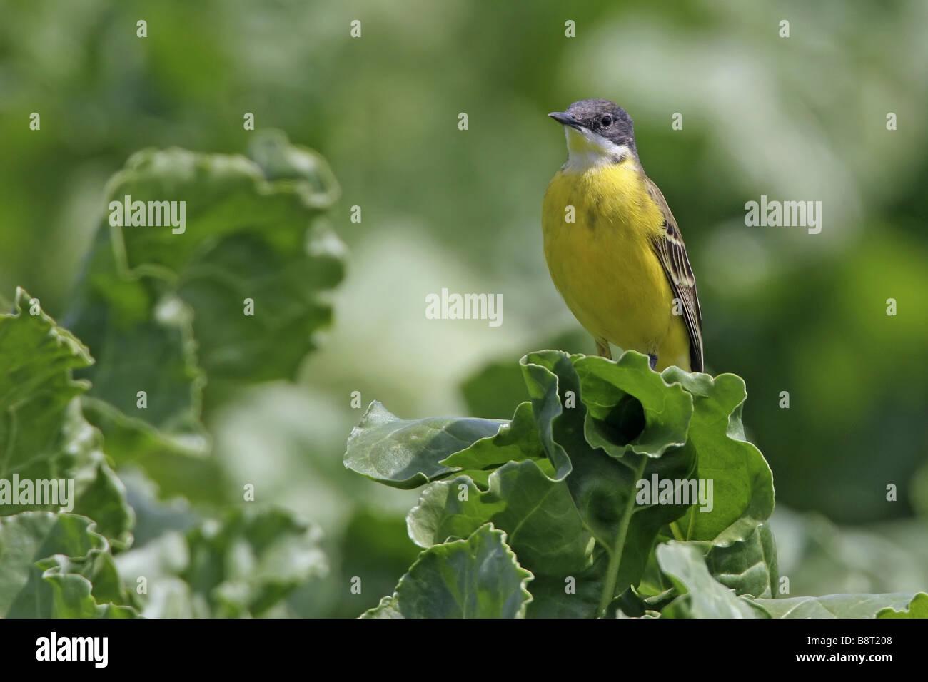 Ashy-headed Wagtail, Yellow wagtail (Motacilla flava cinereocapilla), sitting on cabbage, Italy, Apulia, Pulia - Stock Image