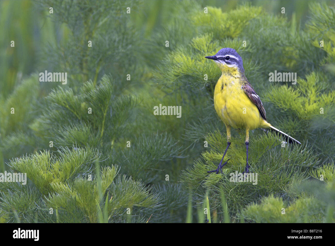 Blue-headed Wagtail, Yellow Wagtail (Motacilla flava flava), sitting in shrubbery, Germany, Rhineland-Palatinate - Stock Image