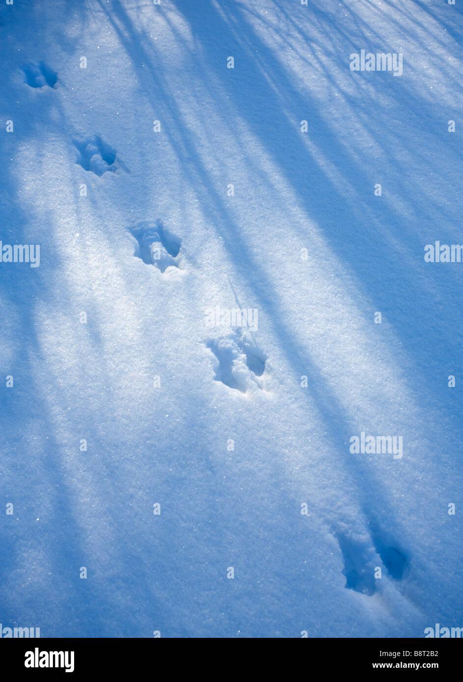 European red squirrel ( sciurus vulgaris ) tracks on snow - Stock Image