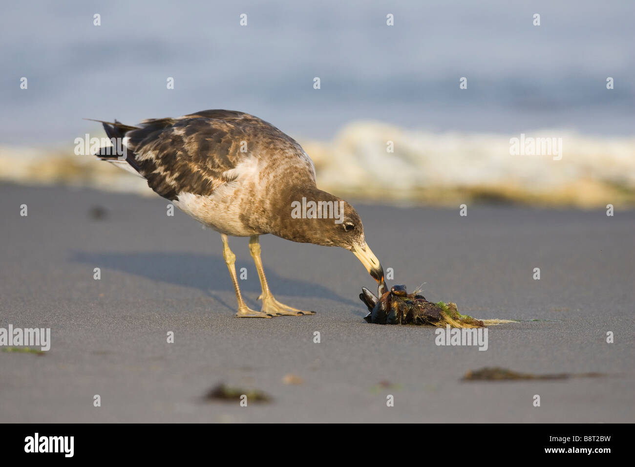 1st winter Band-tailed Gull (Larus belcheri) on a beach feeding on mussels - Stock Image