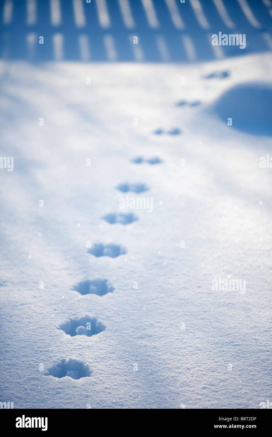 European red squirrel tracks ( Sciurus Vulgaris ) on snow - Stock Image