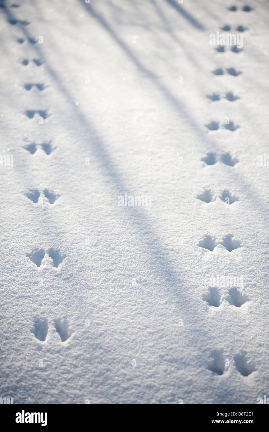 Pair of European red squirrel ( sciurus vulgaris ) tracks on snow - Stock Image