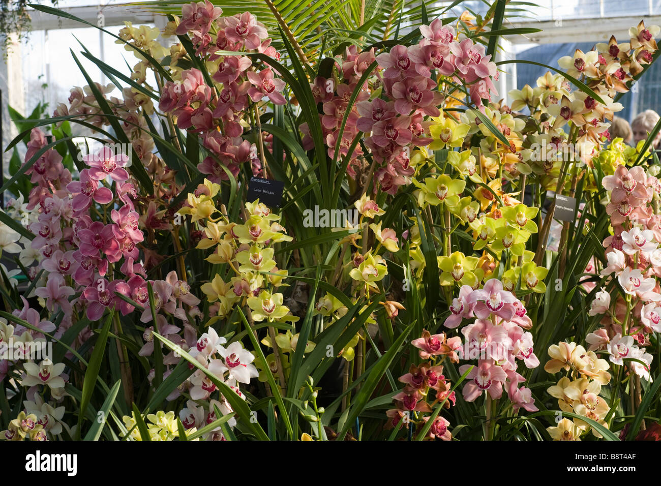 Orchid festival at Royal Botanic Gardens Kew Richmond Surrey GB UK ...