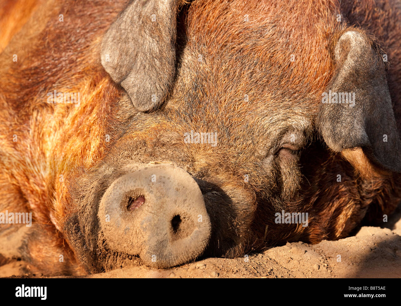 An adult pig sleeps outside in the afternoon sun. - Stock Image