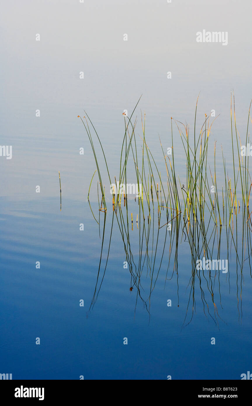 Reeds reflect in a still pond of Seney National Wildlife Refuge, Northern Michigan, USA - Stock Image