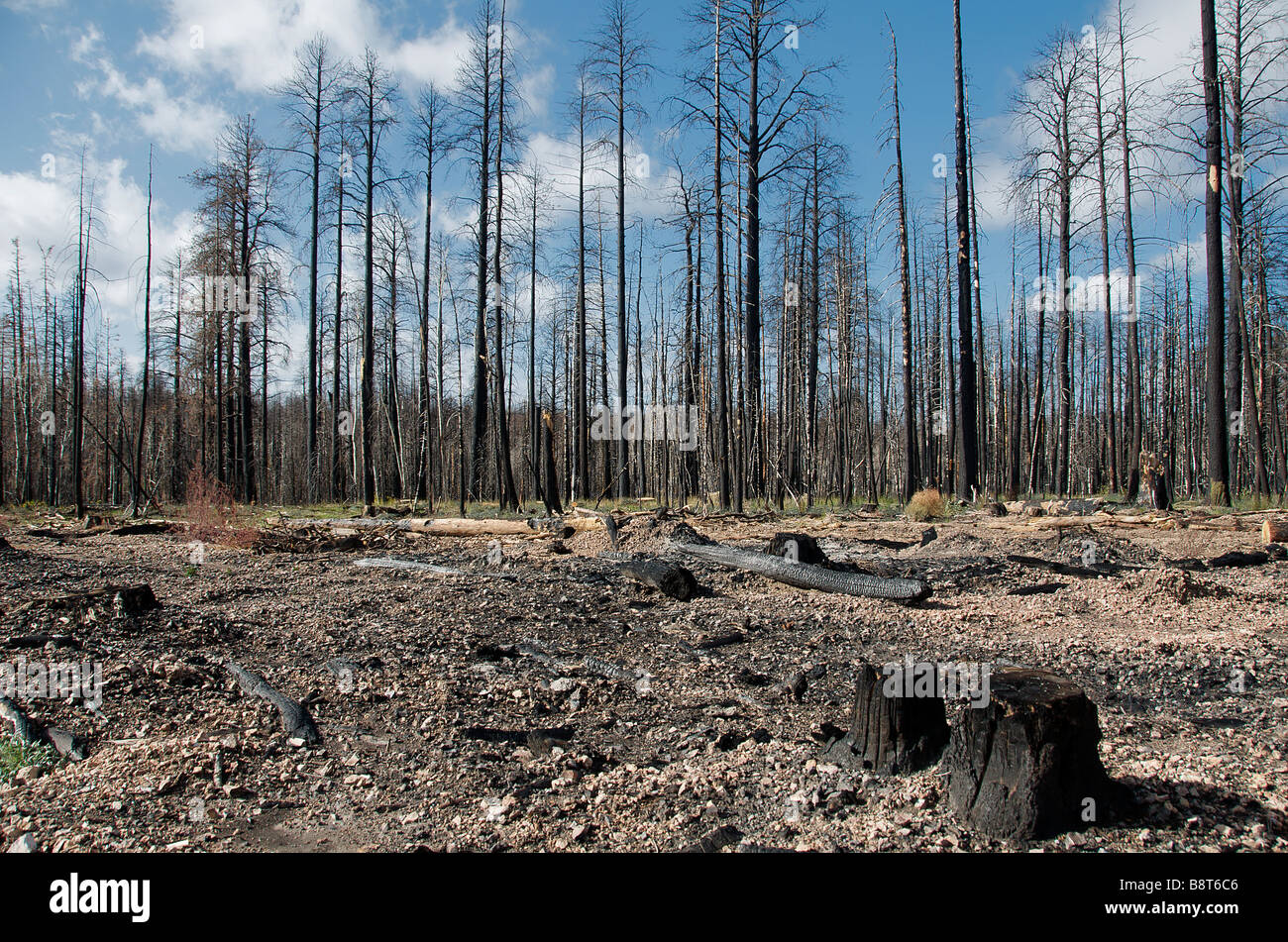 Burnt out forest Grand Canyon National Park North Rim Arizona USA - Stock Image