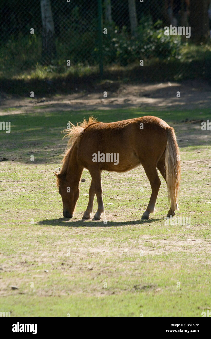 Shetland Pony eating grass in sunny day. - Stock Image