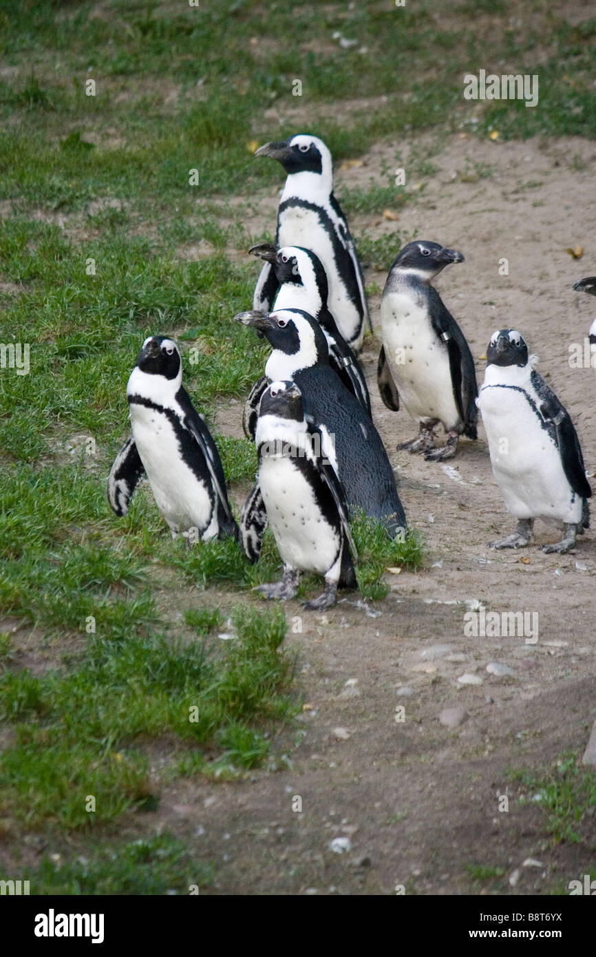 Black footed penguin, it lives in eastern coast of Africa, Nambia. - Stock Image