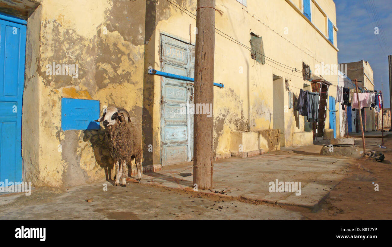 Sheep in Morocco - Stock Image