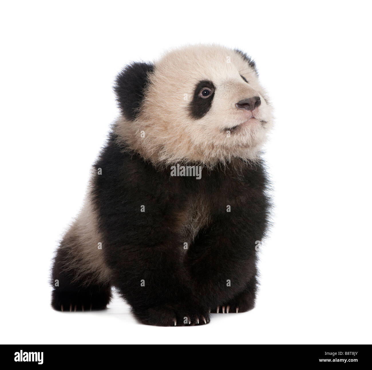 Giant Panda 6 months in front of a white background - Stock Image