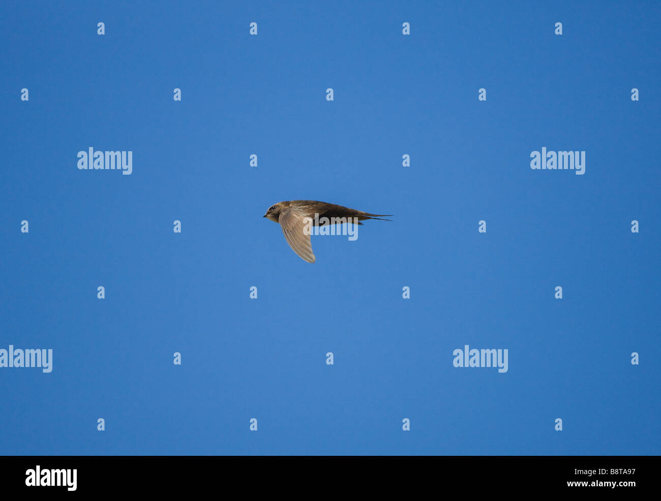 Common Swift in flight - Stock Image