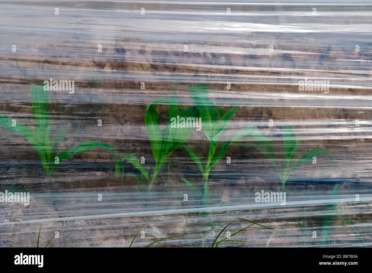 A seedling is seen through strips of plastic used to control the growth of a crop in Israel - Stock Image