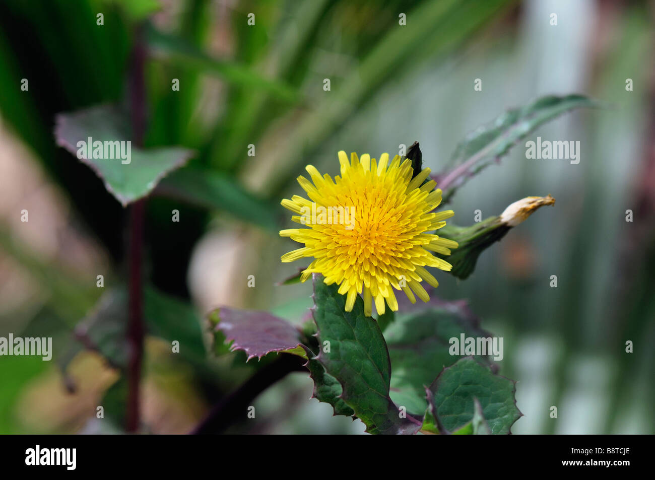 Dandelion Like Flower Stock Photos Dandelion Like Flower Stock