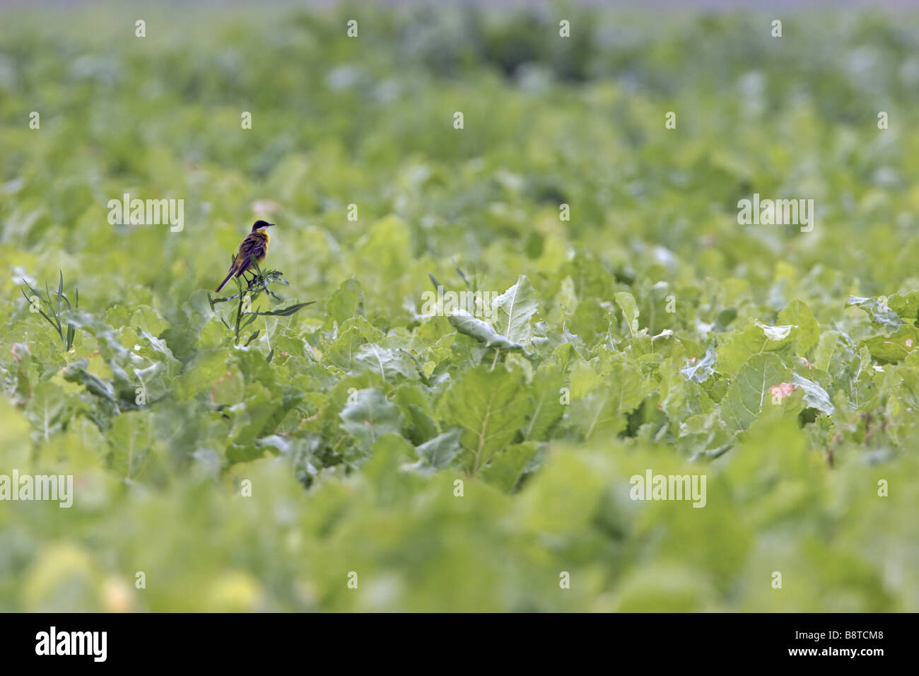 Ashy-headed Wagtail, Yellow wagtail (Motacilla flava cinereocapilla), sitting in vegetable field, Italy, Apulia, - Stock Image