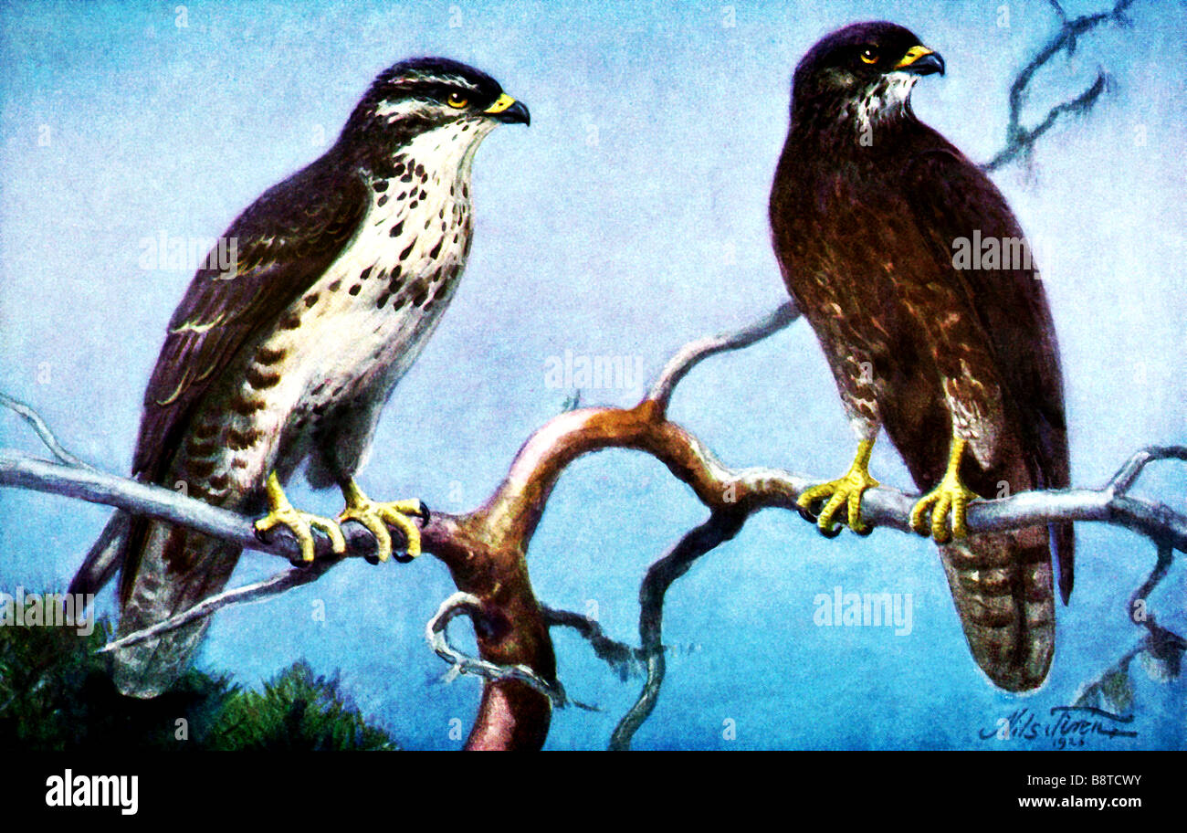 The Honey Buzzard (Pernis apivorus), a lighter and darker version illustrated by O Gylling (1850-1928) Stock Photo