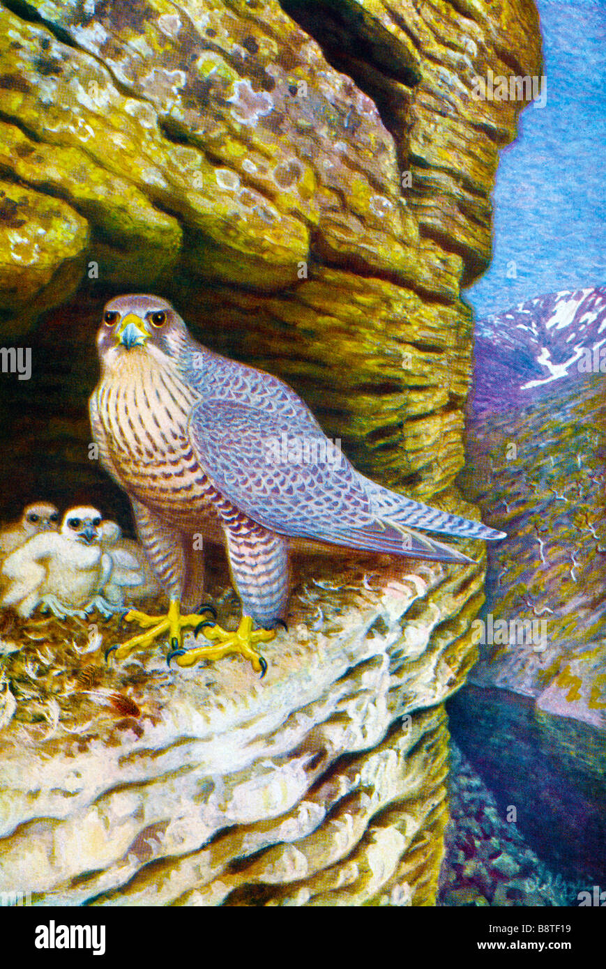 The gyrfalcon (Falco rusticolus) illustrated by Olof Gylling (1850-1928) Stock Photo