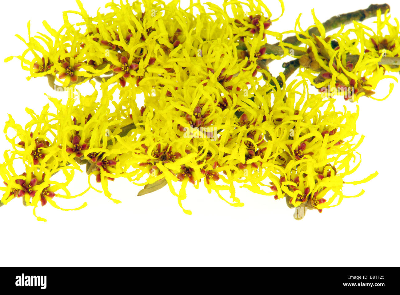 Hamamelis freigestellt Hamamelis isolated 18 - Stock Image