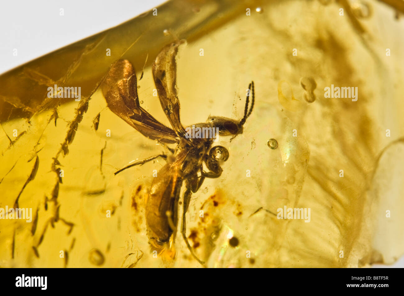 Prehistoric Winged ant preserved in Lithuanian Baltic Amber - Stock Image